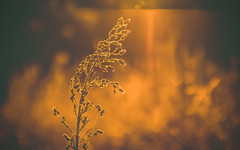 Peaceful moments (Pan.Ioan) Tags: nature plant morning sunrise sunlight orange flower beauty beautiful outdoors freshness growth fragility