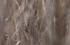 Bruant des roseaux (JeanJoachim) Tags: bruantdesroseaux emberizaschoeniclus commonreedbunting passeriformes emberizidae oiseau bird vogel aves uccello fågel fugl pássaro バード lintu птица ptak pentaxk5iis smcpentaxda300mmf4edifsdm rohrammer