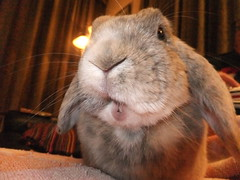 Funny face (eveliensbunnypics) Tags: bunny rabbit lop lopeared polly mouf mouth face closeup funny