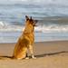Brauner Hund sitzt hechelnd am Sandstrand und blickt aufs Meer