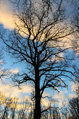Vieux chêne - the old oak (gopillentes) Tags: arbres aube ciel forêt hiver lumière nuages sousbois tronc chêne ombres contre jour oak forest tree against light winter dawn sky clouds