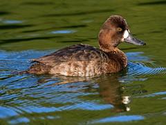 Lesser Scaup_4 (SamOphoto2011) Tags: canon california sandiego birds 14iiteleconverter santeelakes lesserscaup aythyaaffinis 7dmarkii 100400lmarkii ducks