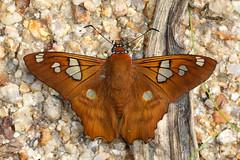 Phoronis Myscelus (Myscelus phoronis phoronis) (bayucca) Tags: hesperiidae pyrginae pyrrhopygini myscelus myscelusphoronis myscelusphoronisphoronis skipper copalinga cascadaalcielo viapodocarpus riobombuscaro bombuscaro dickkopffalter entradabombuscaro provinciadezamorachinchipe südamerika southamerica schmetterling farfalla papillon butterfly insect insekt wildlife neotropical neotropisch regenwald rainforest