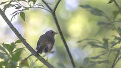 The Morning soft light... (- A N D R E W -) Tags: canon 80d tamron 150600mm nature bokeh light sun morning robin wings depth dof soft otoño autumn color golden leaves pastel