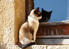 FONTANILLES - GAT A LA FINESTRA (Joan Biarnés) Tags: fontanilles baixempordà girona catalunya finestra ventana gat gato 290 panasonicfz1000 retrat retrato