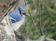 4083e pensive jay (jjjj56cp) Tags: bird birds aves jay bluejay inthewild blue closeup feathers beak eyegleam winter december p1000 coolpixp1000 nikoncoolpixp1000 jennypansing branches tree bokeh