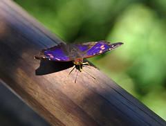 Iguacu butterfly (peter_a_hopwood) Tags: butterfly brazil december 2018 iguacu sony a99