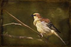 Plain-backed sparrow (ulli_p) Tags: asia art artofimages aworkofart bird birds canon750d flickraward nature ruralthailand southeastasia sparrow plainbackedsparrow thailand texture textured texturedphoto