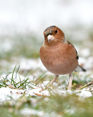 Chaffinch (Hishyar H.) Tags: buchfink snow winter bird nature wildlife animal tier vogel nikon d500 bamberg germany nikon200500mm birds songbird