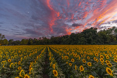 _AGO1657-HDR (arthuroleary) Tags: sunflowers flower field view summer pretty sunset sky ohio midwest clouds moon color