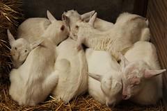 Sweet dreams (Noelia A) Tags: geiten geertjes haarzuilens