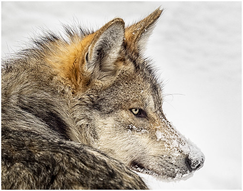 Lobo Nevado by Frank Norton - HM Class B Prints - January 2019
