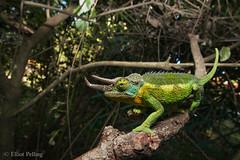 Hedge Dweller (Elliot Pelling) Tags: chameleon wild nature africa herping natural wideangle wide angle canon garden lizard trioceros jacksonii common beautiful kenya hedge injured