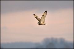 Short-eared Owl (Full Moon Images) Tags: wicken fen burwell nt national trust wildlife nature reserve bird birdofprey flight flying cambridgeshire shorteared owl