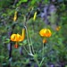 Tiger Lilies on Display in North Cascades National Park