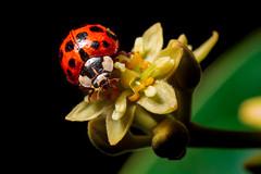 (Alberto Cavazos) Tags: cucujoidea ladybug coccinellidaeseptempunctata isect catarina macro naturalmacro macrolife sigma50mm28dgmacro macrophoto animal