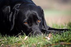 break (uwe.kast) Tags: labrador labradorretriever labradorredriver bichou hund haustier dog bokeh black break pause panasonic lumix g9 100300