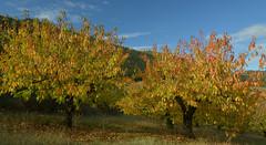 Cerisiers de Peyrelade (Michel Seguret Thanks for 12,9 M views !!!) Tags: france automne autumn fall michelseguret nikon d800 pro aveyron