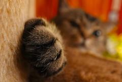 Bibi's favorite cat tree streching #IntendedContact HMM (Ker Kaya) Tags: intendedcontact macromondays macromonday cat cattree kerkaya sony carlzeiss rx10 face portrait macro paw cute lovely artist fdekerkaya photography kerkayaphotography
