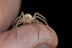 Slender Spider, Pt. 2 - _TNY_5096 (Calle Söderberg) Tags: macro canon canoneos5dmarkii canonef100mmf28usmmacro canon5dmkii 5d2 flash meike mk300 glassdiffusor raynox dcr250 thumb finger onfinger blackbackground arachnida araneae tibellus oblongus beige sandy philodromidae snabblöparspindel runningcrabspider spindel spider ängshalmspindel f22