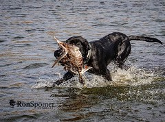 From here on out they'll be in full winter plumage. #du #ducksunlimited #mallard #retriever #labradorretriever #lab #blacklab #duckhunt #fetch #ronspomeroutdoors (RonSpomerOutdoors) Tags: instagram ronspomeroutdoors outdoors hunting landscape wildlife camping canon 7d