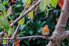 Pettirosso (ruggierodisavino) Tags: osimo marche giardino pettirosso rosso natura uccelli volatili piume robin bird