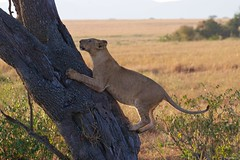 IMGP8259 Midway (Claudio e Lucia Images around the world) Tags: lion lioness tree climbing jump jumping serengeti tanzania africa cat bigcat feline savana sunrise pentax pentaxk3ii sigma sigma50500 bigma sigmaart pentaxart nationalgeographic africageographic animale erba cielo