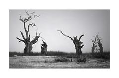 Trunk Calls. (Lindi m) Tags: mundon essex oaks trees field misty dead graveyard blackandwhite mono maldon imagination