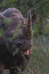 Thorny dinner (EpicIvo) Tags: ifttt 500px herbivorous herbivore hoofed mammal large grazing animal condition bovid rhino africa kruger park thorny dinner eating black selective focus