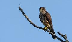 Merlin (JDA-Wildlife) Tags: birds birdsofprey raptors falcons falconmerlin merlin nikon nikond7100 tamronsp150600mmf563divc jdawildlife johnny portrait closeup eyecontact wow brilliant gorgeous whatbirdbestofday