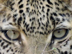 Young Leopard in the bush (BaliDave2) Tags: leopard botswana africa 2018