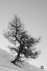 Lanslebourg-Mont-Cenis (damzed) Tags: pentaxk5 pentaxda18135 monochrome noiretblanc auvergnerhônealpes savoie valcenis lanslebourgmontcenis montagne règnevégétal