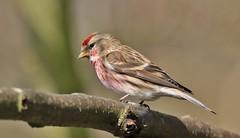 Lesser Redpoll     (Carduelis cabaret) (nick.linda) Tags: lesserredpoll cardueliscabaret redpoll wildandfree finches canon7dmkii sigma150600c