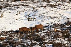 IMG_5288 (monika.carrie) Tags: reddeer monikacarrie wildlife scotland aberdeenshire royaldeeside