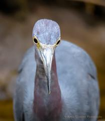 Little Blue Heron (Kevin James54) Tags: carolinabeachlake egrettacaerulea littleblueheron nikond850 tamron150600mm wilmington animals avian bird heron kevingianniniphotocom