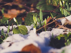 Snowdrop Bokeh - 20. Januar 2019 - Schleswig-Holstein - Germany (torstenbehrens) Tags: olympus ep5 m40150mm f4056 r snowdrop bokeh 20 januar 2019 schleswigholstein germany