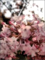 (Tölgyesi Kata) Tags: kikeletibangita viburnumxbodnantense bodnantschneeball tuzsonjánosbotanikuskert withcanonpowershota620 botanikuskert botanicalgarden flower nyíregyháza