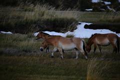 wild horses (iorus and bela) Tags: mongolia mongol transmongolian transmongolianexpress traveling asia fromchinatorussia genghiskhan emperor empire przewalskishorse przewalskihorse horse wild wildhorse deer nature nationalpark amazing cold zomervakantie snowinsummer