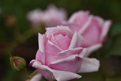 Rose 'Lady Mary Fitswilliam' raised in UK (naruo0720) Tags: rose englishrose britishrose ladymaryfitswilliam englishrosescollection バラ イギリスのバラ ブリティッシュローズ レディマリーフィッツウイリリアム イギリスのバラコレクション nikonscamera sigmalenses d810 sigma105mmf28exdgoshsm