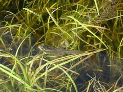 Mink Frog (D. S. Hałas) Tags: halas hałas canada ontario nipissingdistrict algonquinprovincialpark pecktownship mizzylaketrail chordata sarcopterygii amphibia anura ranidae lithobatesseptentrionalis ranaseptentrionalis minkfrog frog tadpole