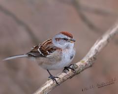 American Tree Sparrow (Bill McDonald 2016) Tags: avian wintervisitor fall november sparrow americantreesparrow 2018 canada ontario perched perching billmcdonald