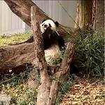 Panda Tian Tian thumbnail