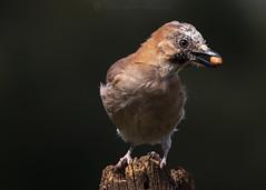 Jay Nut W 19th August  copy (Gavin Vella) Tags: jay jaybird uk birds bird birduk nature naturephotography wildlife wildlifephotography wildlifeuk canon7dmkii canon300mm28is