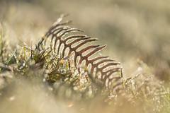 spine tingling (Emma Varley) Tags: bracken fern frost sunshine grass sparkle bokeh shallowdepthoffield february westsussex kn