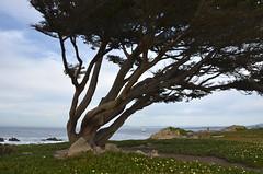 Windswept tree (afagen) Tags: california pacificgrove montereypeninsula pacificocean ocean tree
