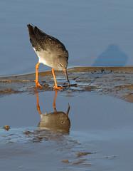 Redshank reflection (nutmeg66) Tags: lincolnshire lincolnshirewildlifetrust redshank birds 2017 donnanook wader reflection