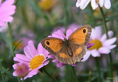 Summer Memories (Eleanor (No multiple invites please)) Tags: butterfly gatekeeperbutterfly pinkflowers marguerites garden uk nikond7200 august2018 stanmore coth coth5