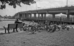 Bird Man (PositiveAboutNegatives) Tags: nikon slr vintagecamera nikonf eyelevel plainprism cv40mmf2 40mm film analog blackandwhitefilm foma fomapan100 rodinal standdeveloping coolscan lakeworth florida