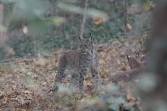 Eurasian Lynx at Tiergarten Schönbrunn 2018-10-20 (kuromimi64) Tags: tiergartenschönbrunn schönbrunnzoo schoenbrunnzoo viennazoo vienna wien ウィーン zoo 動物園 austria オーストリア österreich europe ヨーロッパ eurasianlynx オオヤマネコ lynx