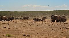 Elephants at the Addo (Stefan Zwi.) Tags: landscape elephants elefanten elefant wildlife africa afrika südafrika southafrica addo addoelephantpark